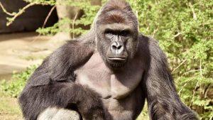 El Gorila Harambe, y cuando los animales importan más que los humanos