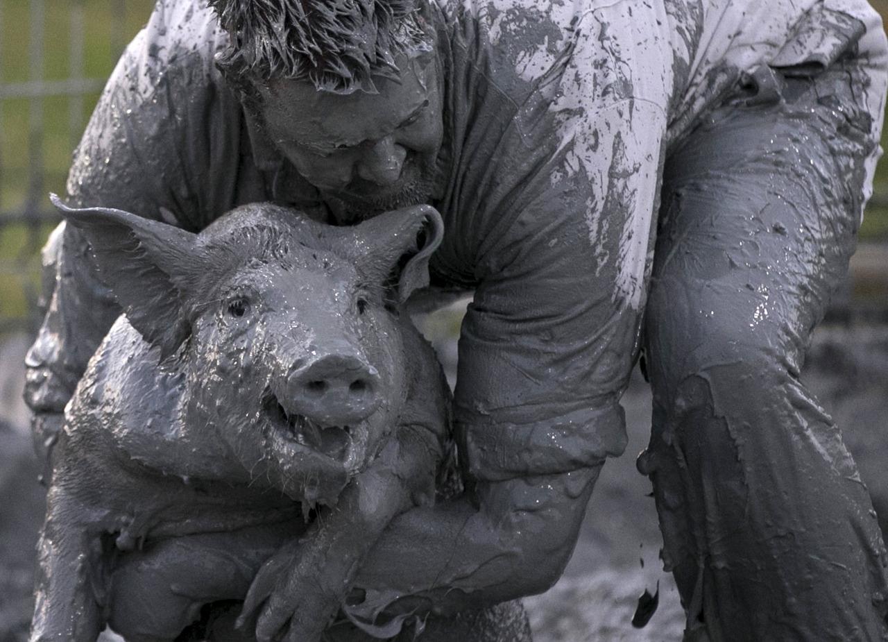 La batalla de los cerdos (tres cerdos diferentes)